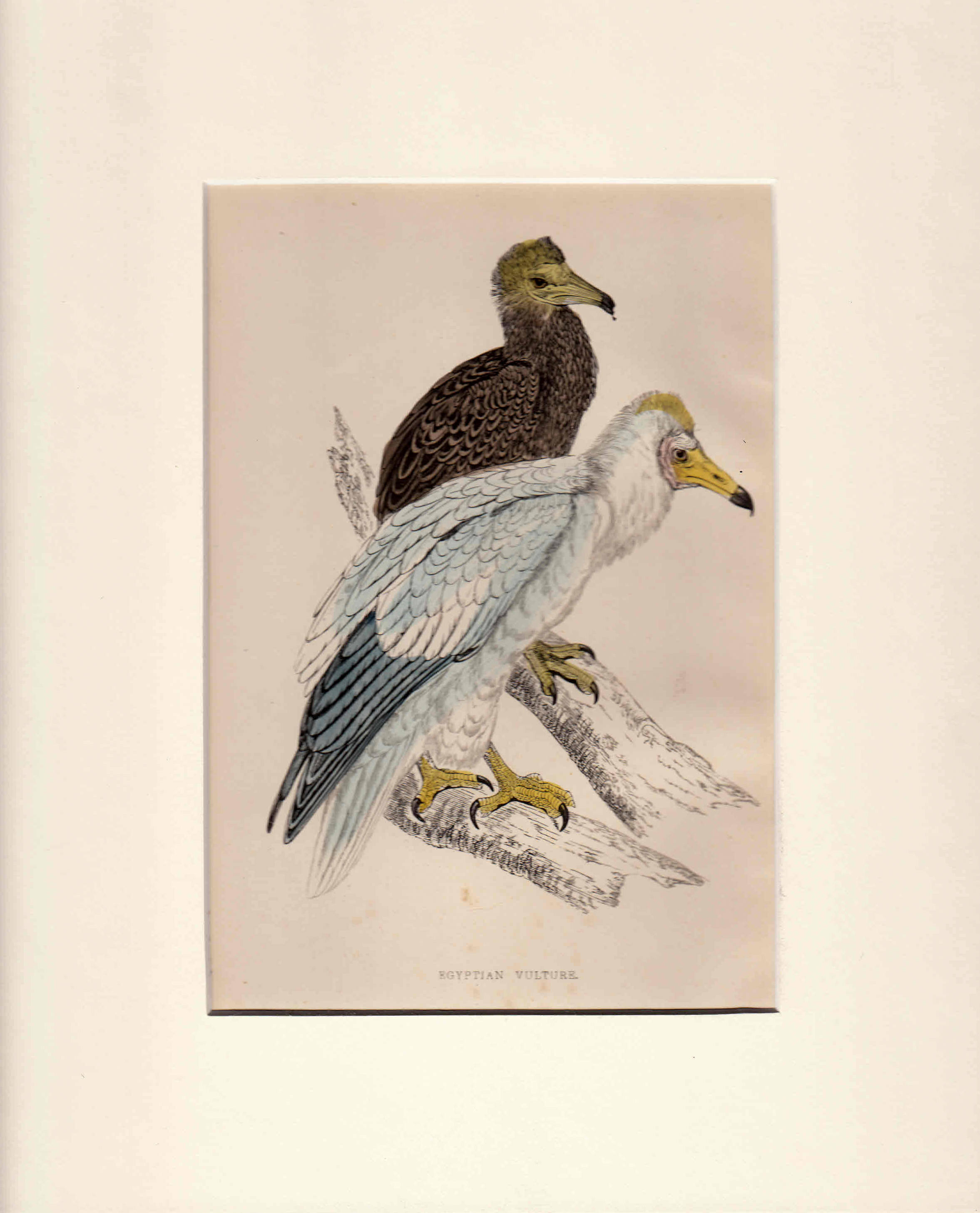 Egyptian Vulture. British Birds.